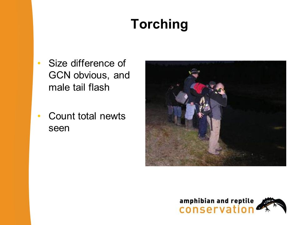 Torching Size difference of GCN obvious, and male tail flash Count total newts seen