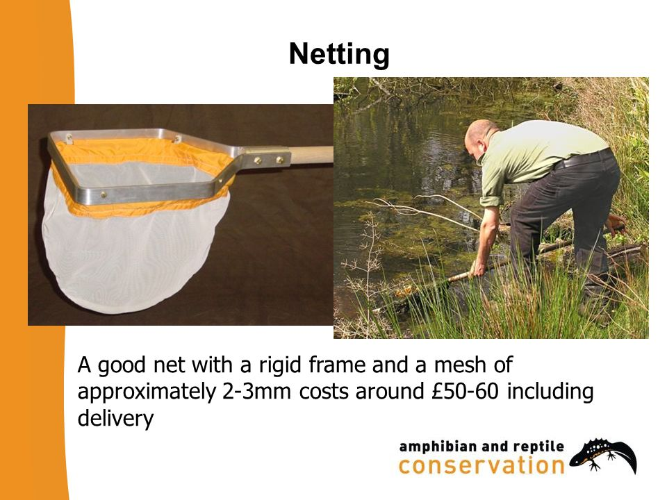 Netting Effort Work around the pond perimeter Net along two-metre lengths of shoreline Agitate the net through aquatic vegetation in two- metre arc Netting open water is less effective than netting in vegetation