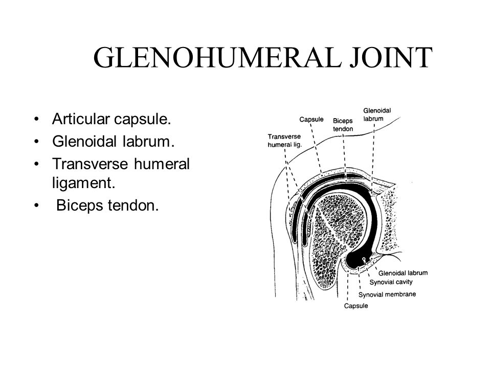 GLENOHUMERAL JOINT Articular capsule. Glenoidal labrum. Transverse humeral ligament. Biceps tendon.
