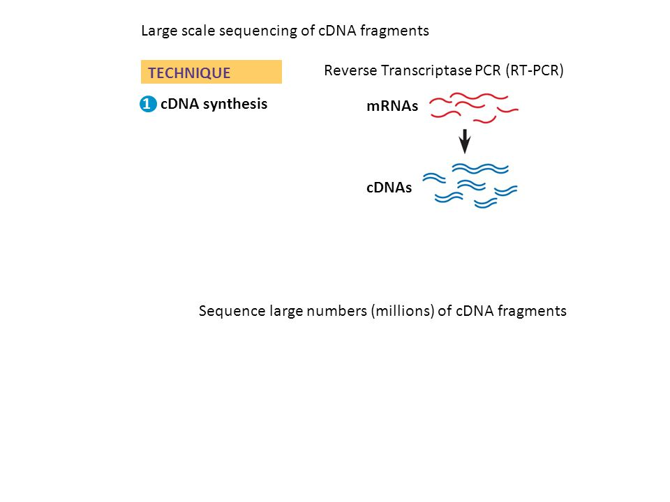TECHNIQUE Gel electrophoresis cDNAs PCR amplification Primers mRNAs cDNA synthesis 1 2 3 Reverse Transcriptase PCR (RT-PCR) Large scale sequencing of