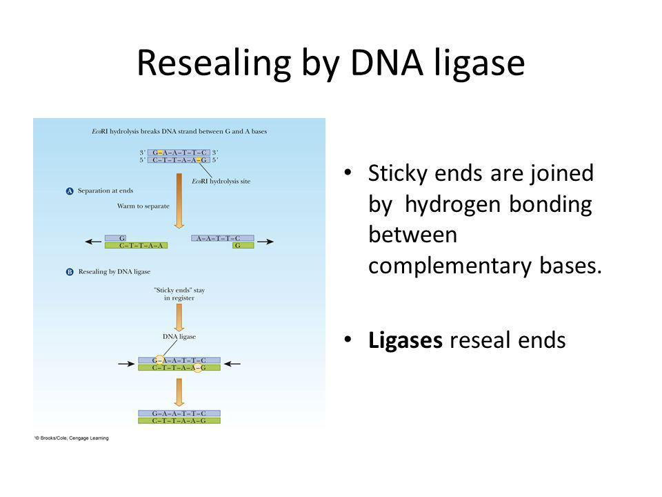 Resealing by DNA ligase Sticky ends are joined by hydrogen bonding between complementary bases.