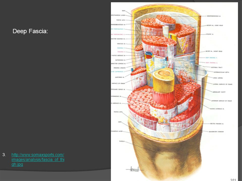 3.http://www.somaxsports.com/ images/analysis/fascia_of_thi gh.jpghttp://www.somaxsports.com/ images/analysis/fascia_of_thi gh.jpg Deep Fascia: