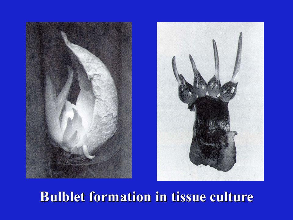 Hosta culture