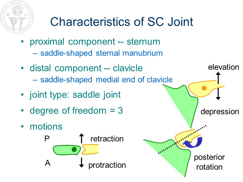 Characteristics of SC Joint proximal component -- sternum –saddle-shaped sternal manubrium distal component -- clavicle –saddle-shaped medial end of clavicle joint type: saddle joint degree of freedom = 3 motions elevation depression posterior rotation A P protraction retraction
