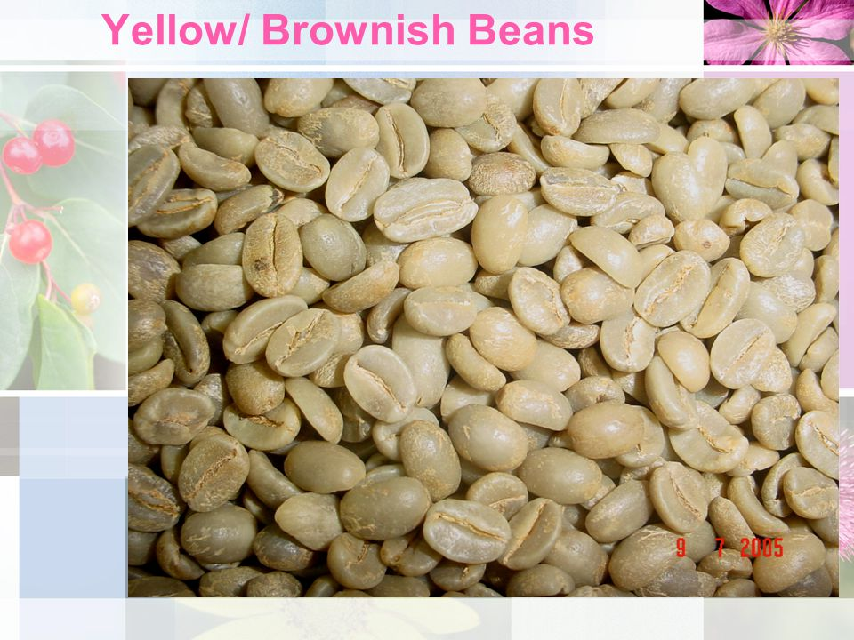 Categories… contd Yellowness and whiteness are undesirable characteristics of green coffee beans.