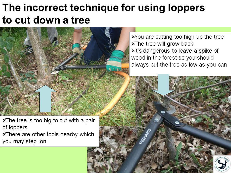 The incorrect technique for using loppers to cut down a tree You are cutting too high up the tree The tree will grow back Its dangerous to leave a spike of wood in the forest so you should always cut the tree as low as you can The tree is too big to cut with a pair of loppers There are other tools nearby which you may step on