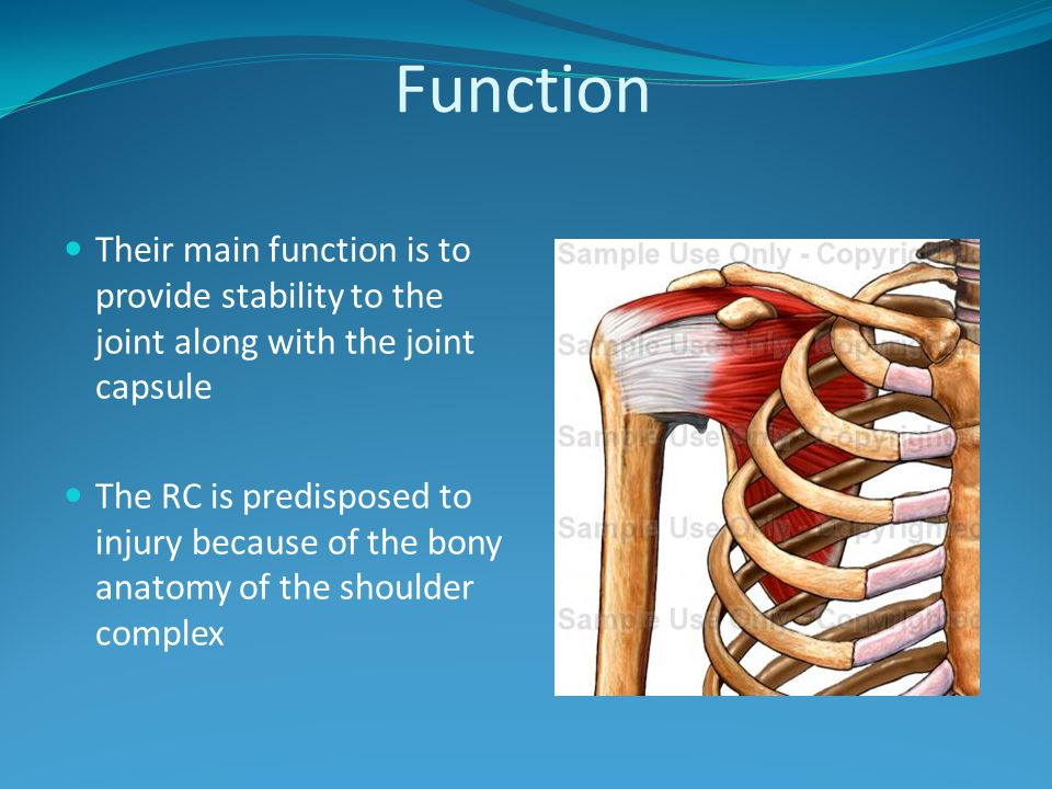 Function Their main function is to provide stability to the joint along with the joint capsule The RC is predisposed to injury because of the bony ana