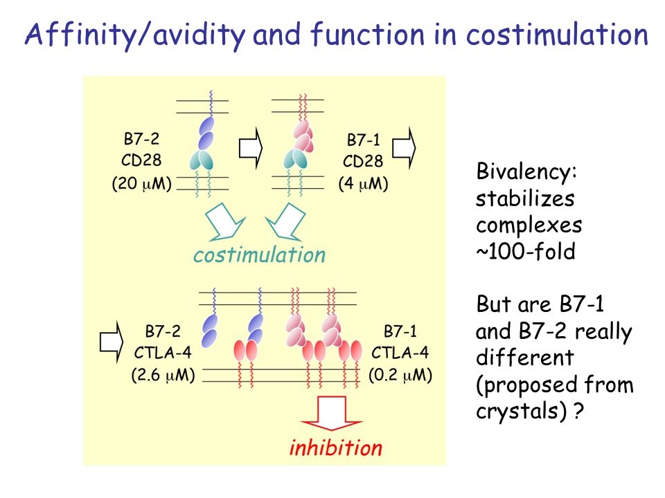 Affinity/avidity and function in costimulation Bivalency: stabilizes complexes ~100-fold But are B7-1 and B7-2 really different (proposed from crystals)
