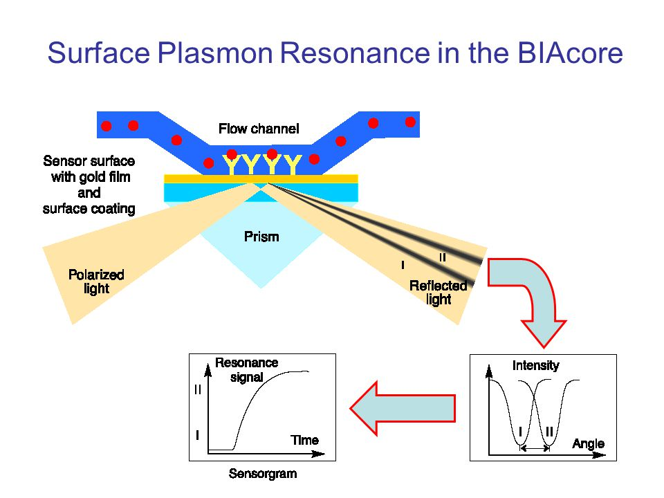 Surface Plasmon Resonance in the BIAcore