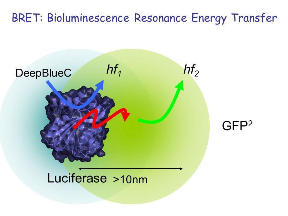DeepBlueC hf 1 hf 2 Luciferase >10nm GFP 2 BRET: Bioluminescence Resonance Energy Transfer
