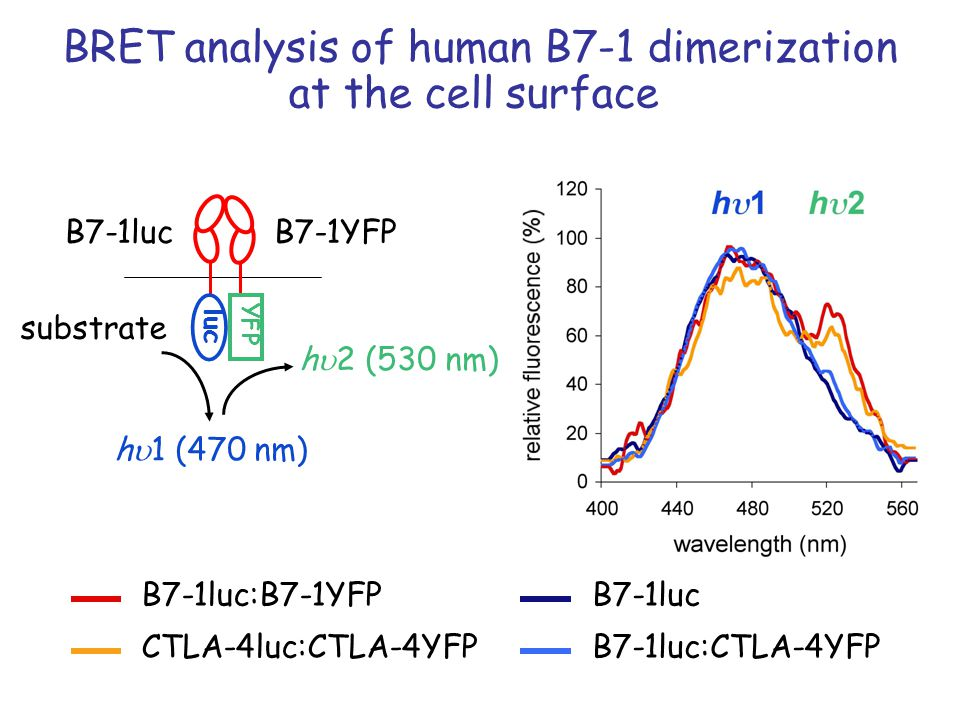BRET analysis of human B7-1 dimerization at the cell surface B7-1luc:B7-1YFP CTLA-4luc:CTLA-4YFP B7-1luc B7-1luc:CTLA-4YFP YFP luc B7-1YFPB7-1luc substrate h 2 (530 nm) h 1 (470 nm)