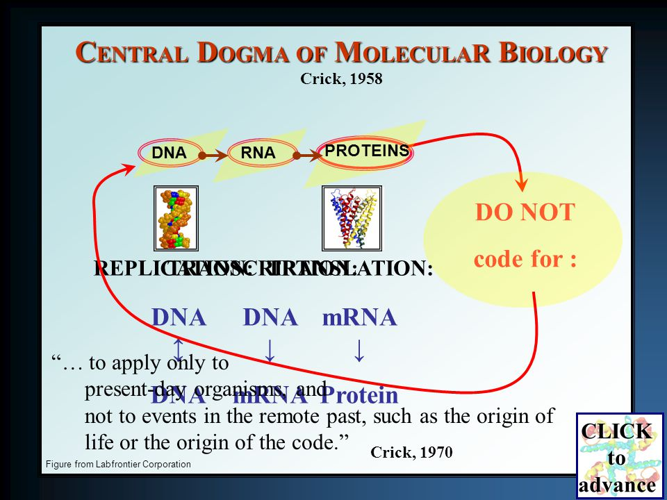 Figure from Labfrontier Corporation REPLICATION: DNA DNA TRANSLATION: mRNA Protein TRANSCRIPTION: DNA mRNA C ENTRAL D OGMA OF M OLECULA R B IOLOGY Crick, 1958 DO NOT code for : DNARNA PROTEINS … to apply only to present-day organisms, and not to events in the remote past, such as the origin of life or the origin of the code.