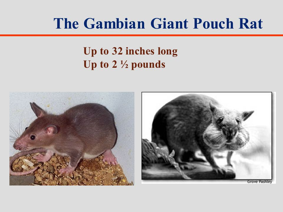 The Gambian Giant Pouch Rat Up to 32 inches long Up to 2 ½ pounds