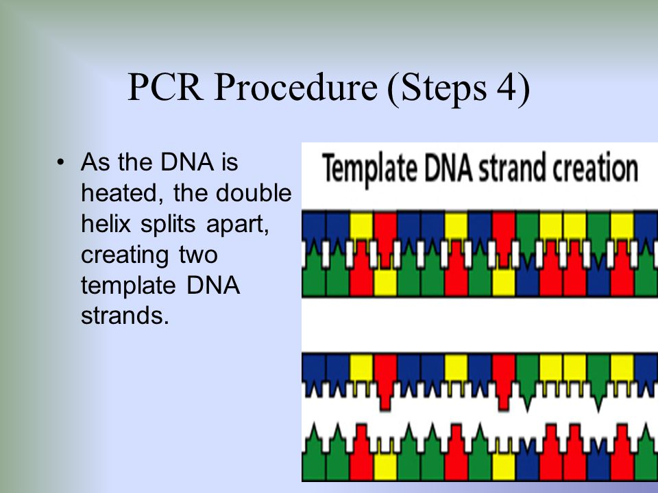 PCR Procedure (Steps 4) As the DNA is heated, the double helix splits apart, creating two template DNA strands.