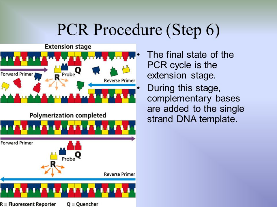 PCR Procedure (Step 6) The final state of the PCR cycle is the extension stage. During this stage, complementary bases are added to the single strand