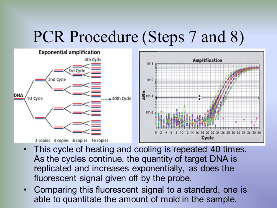 PCR Procedure (Steps 7 and 8) This cycle of heating and cooling is repeated 40 times. As the cycles continue, the quantity of target DNA is replicated