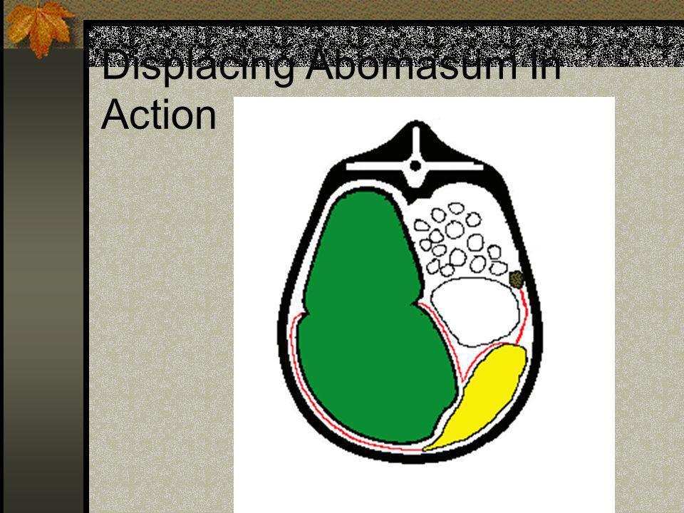 Displacing Abomasum In Action