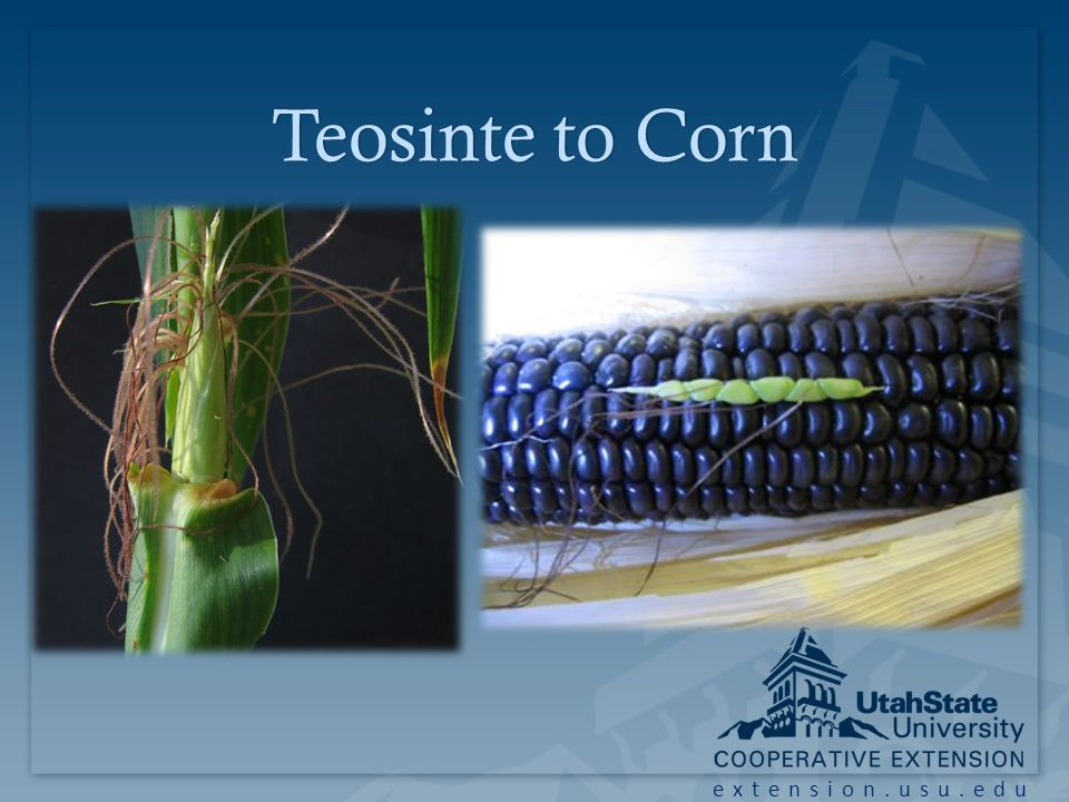 extension.usu.edu Teosinte to CornTeosinte to Corn