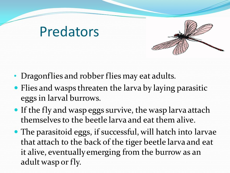 Predators Dragonflies and robber flies may eat adults.