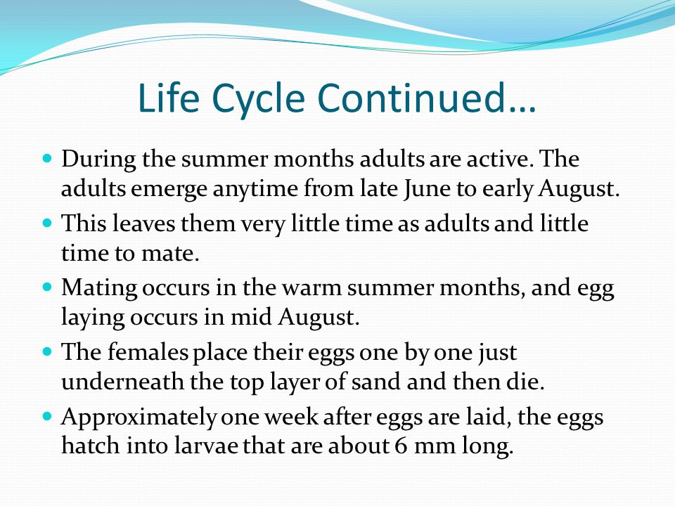Life Cycle Continued… During the summer months adults are active.