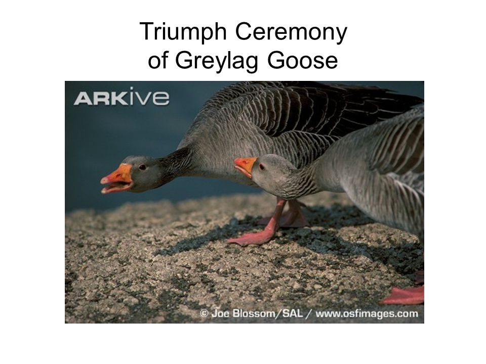 Triumph Ceremony of Greylag Goose