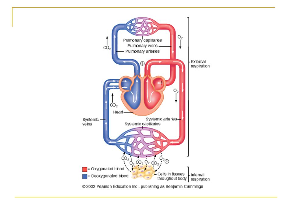 Central Regulation of Ventilation The purpose of ventilation is to deliver O 2 to and remove CO 2 from cells at a rate sufficient to keep up with metabolic demands Breathing is under both involuntary and voluntary control Normal breathing is rhythmic and involuntary However, the respiratory muscles may be controlled voluntarily