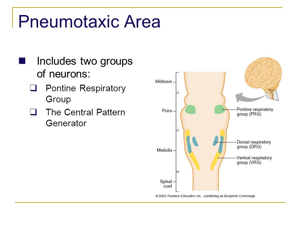 Pneumotaxic Area Includes two groups of neurons: Pontine Respiratory Group The Central Pattern Generator