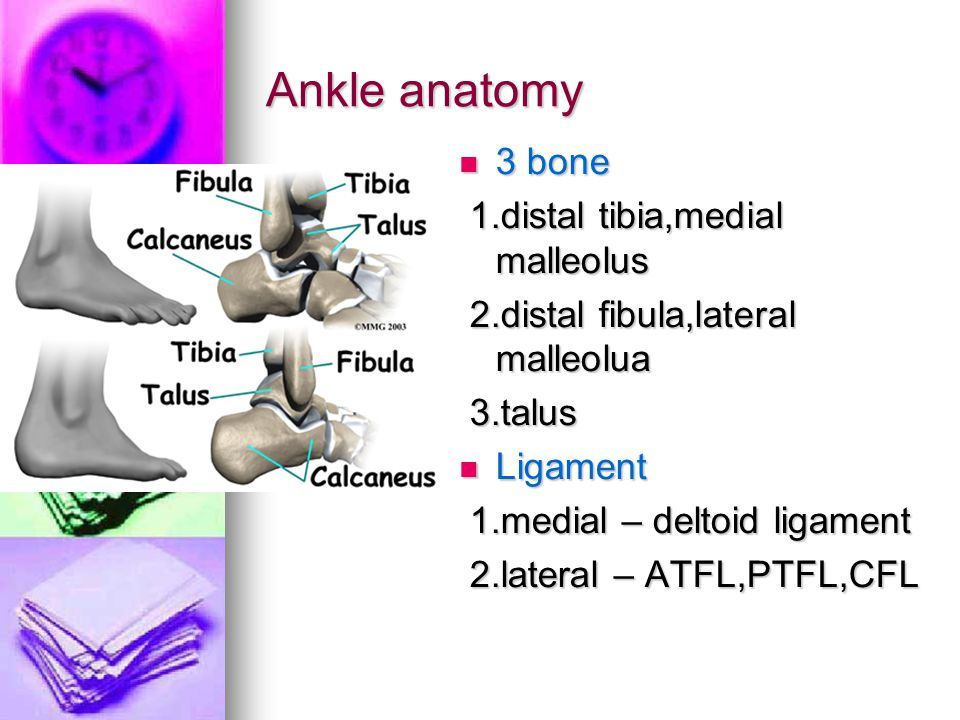 Ankle anatomy 3 bone 3 bone 1.distal tibia,medial malleolus 1.distal tibia,medial malleolus 2.distal fibula,lateral malleolua 2.distal fibula,lateral