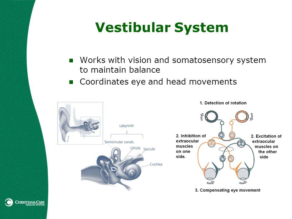 Vestibular System Works with vision and somatosensory system to maintain balance Coordinates eye and head movements