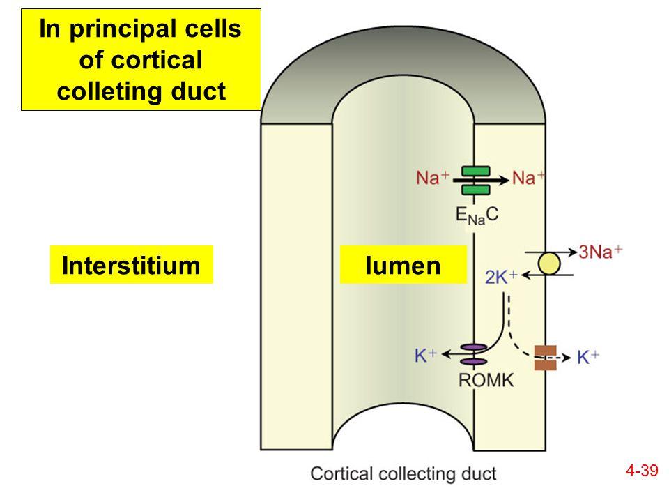 In principal cells of cortical colleting duct lumenInterstitium 4-39
