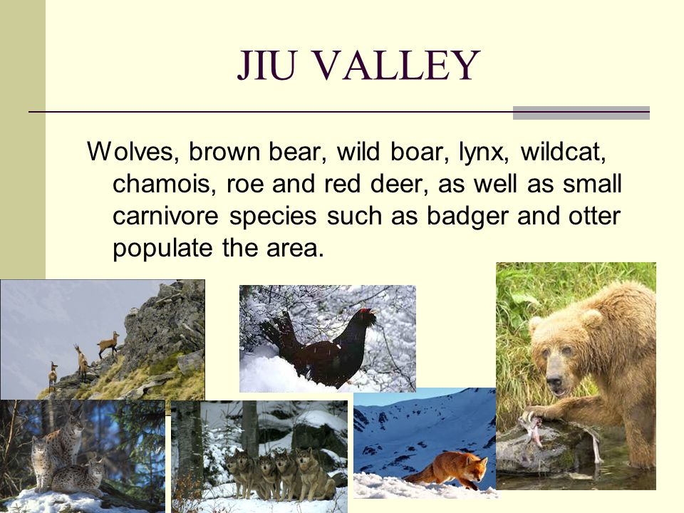 JIU VALLEY Wolves, brown bear, wild boar, lynx, wildcat, chamois, roe and red deer, as well as small carnivore species such as badger and otter populate the area.