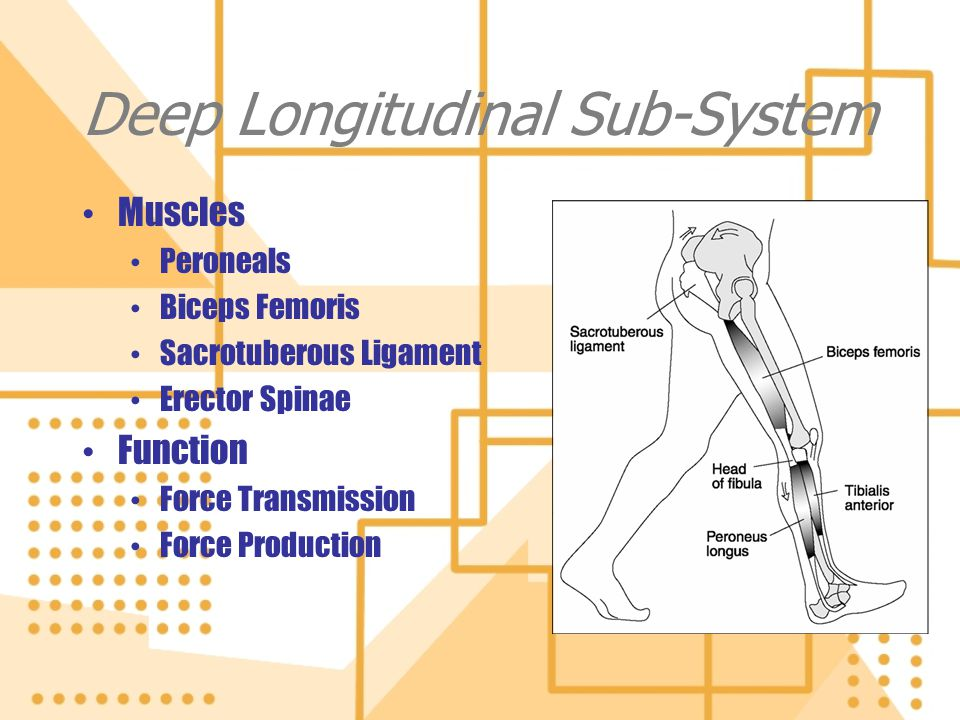 Deep Longitudinal Sub-System Muscles Peroneals Biceps Femoris Sacrotuberous Ligament Erector Spinae Function Force Transmission Force Production Muscl