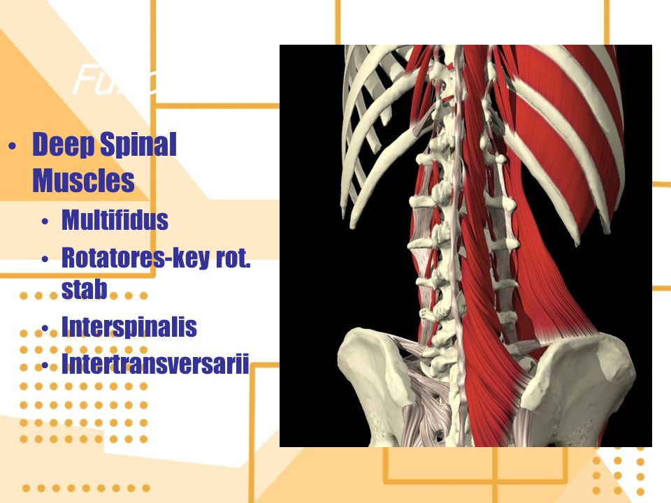 Functional Anatomy-Posterior Deep Spinal Muscles Multifidus Rotatores-key rot. stab Interspinalis Intertransversarii Deep Spinal Muscles Multifidus Ro