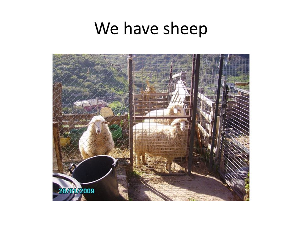 We have sheep