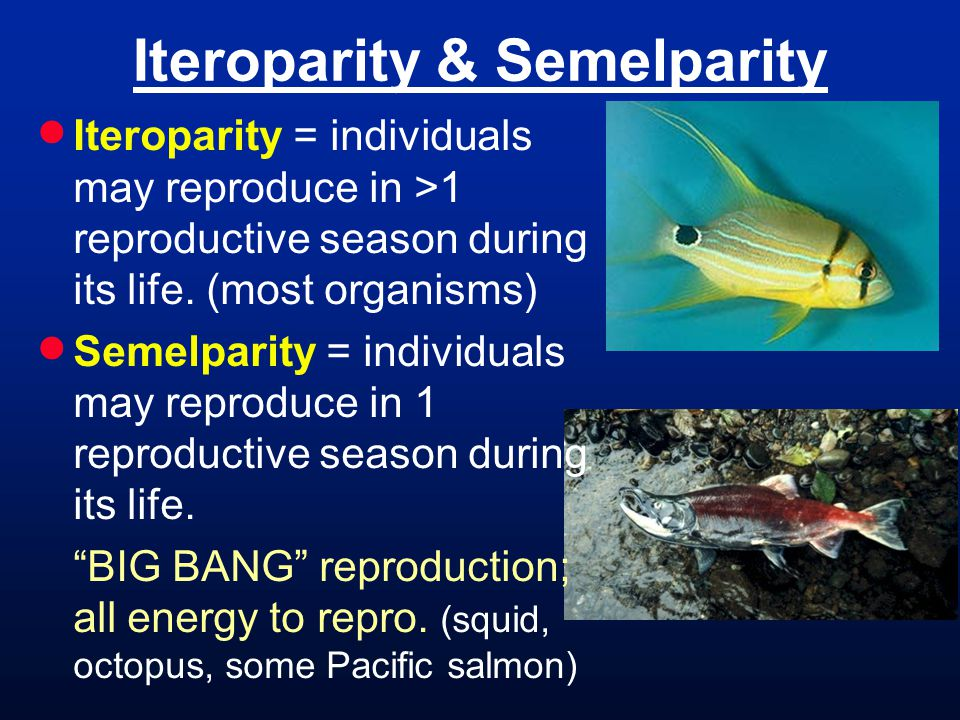 Iteroparity & Semelparity Iteroparity = individuals may reproduce in >1 reproductive season during its life.