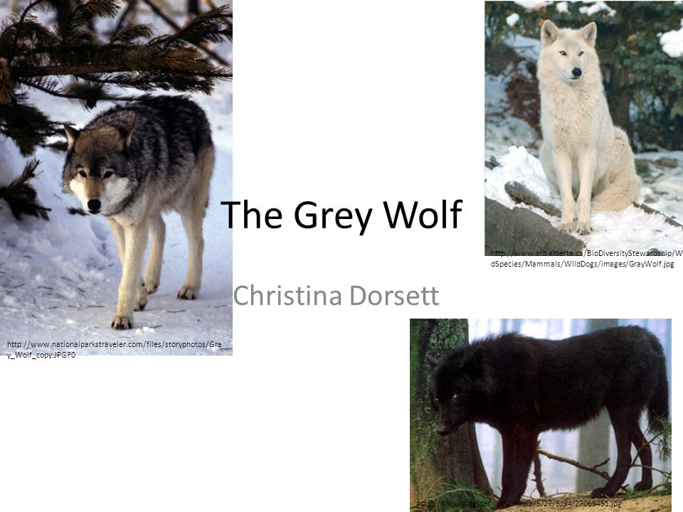 The Grey Wolf Christina Dorsett http://www.glogster.com/media/5/27/6/94/27069451.jpg http://www.srd.alberta.ca/BioDiversityStewardship/Wil dSpecies/Mammals/WildDogs/images/GrayWolf.jpg http://www.nationalparkstraveler.com/files/storyphotos/Gra y_Wolf_copy.JPG?0
