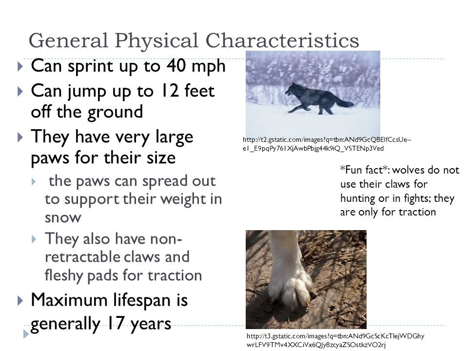 General Physical Characteristics Can jump up to 12 feet off the ground They have very large paws for their size the paws can spread out to support their weight in snow They also have non- retractable claws and fleshy pads for traction *Fun fact*: wolves do not use their claws for hunting or in fights; they are only for traction http://t3.gstatic.com/images?q=tbn:ANd9GcScKcTlejWDGhy wrLFV9TMv4XXCiVx6QJy8zcyaZSOstkzVO2rj http://t2.gstatic.com/images?q=tbn:ANd9GcQBEIfCcsUe-- e1_E9pqPy761XjAwbPbjg44k9iQ_VSTENp3Ved Can sprint up to 40 mph Maximum lifespan is generally 17 years