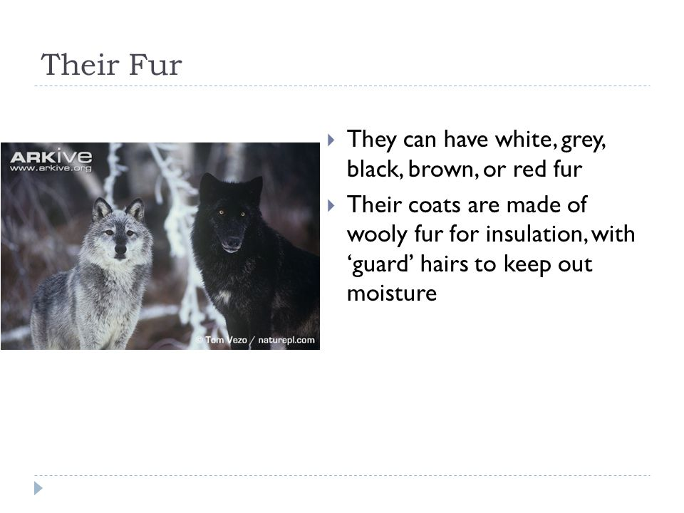 Their Fur They can have white, grey, black, brown, or red fur Their coats are made of wooly fur for insulation, with guard hairs to keep out moisture