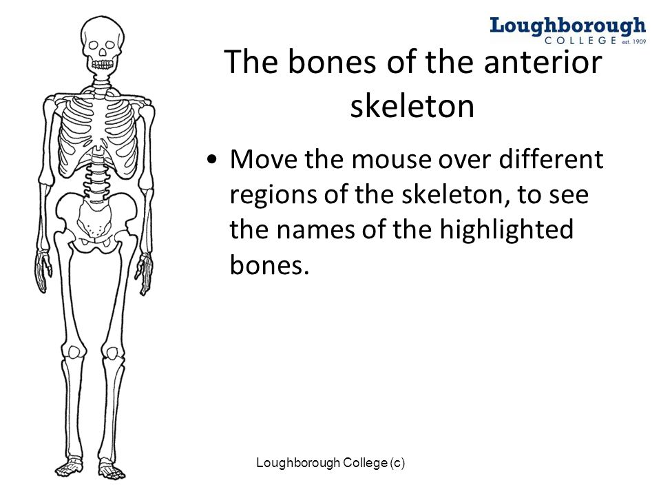 Loughborough College (c) The bones of the anterior skeleton Move the mouse over different regions of the skeleton, to see the names of the highlighted