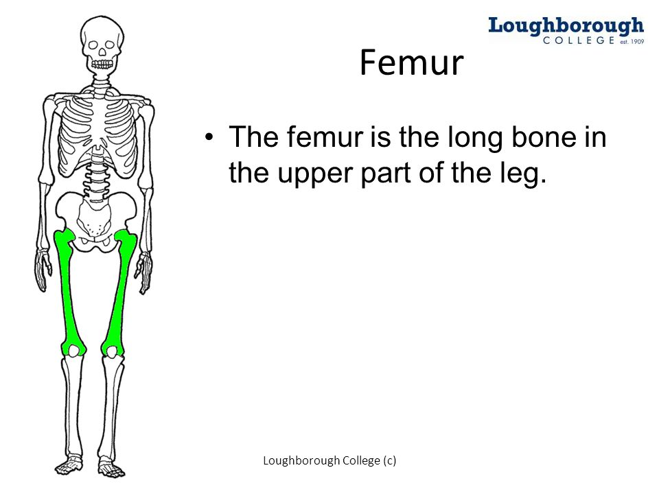 Femur The femur is the long bone in the upper part of the leg. Loughborough College (c)