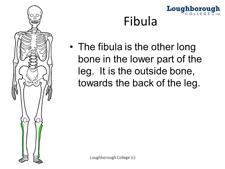 Fibula The fibula is the other long bone in the lower part of the leg. It is the outside bone, towards the back of the leg. Loughborough College (c)