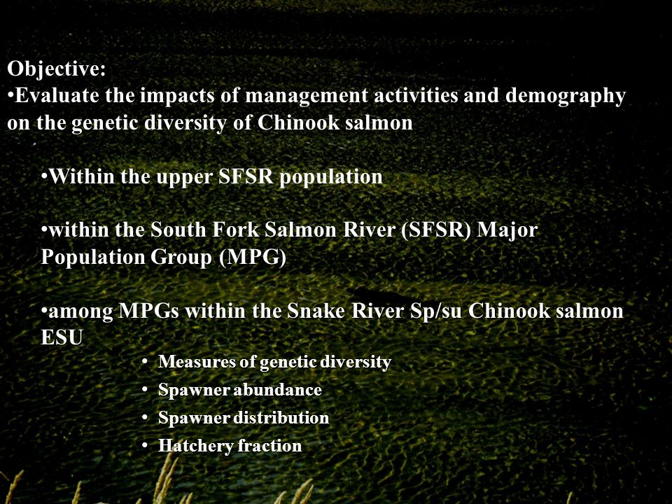 Objective: Evaluate the impacts of management activities and demography on the genetic diversity of Chinook salmon Within the upper SFSR population South Fork Salmon River (SFSR) Major Population Group (MPG) within the South Fork Salmon River (SFSR) Major Population Group (MPG) among MPGs within the Snake River Sp/su Chinook salmon ESU among MPGs within the Snake River Sp/su Chinook salmon ESU Measures of genetic diversity Measures of genetic diversity Spawner abundance Spawner abundance Spawner distribution Spawner distribution Hatchery fraction Hatchery fraction