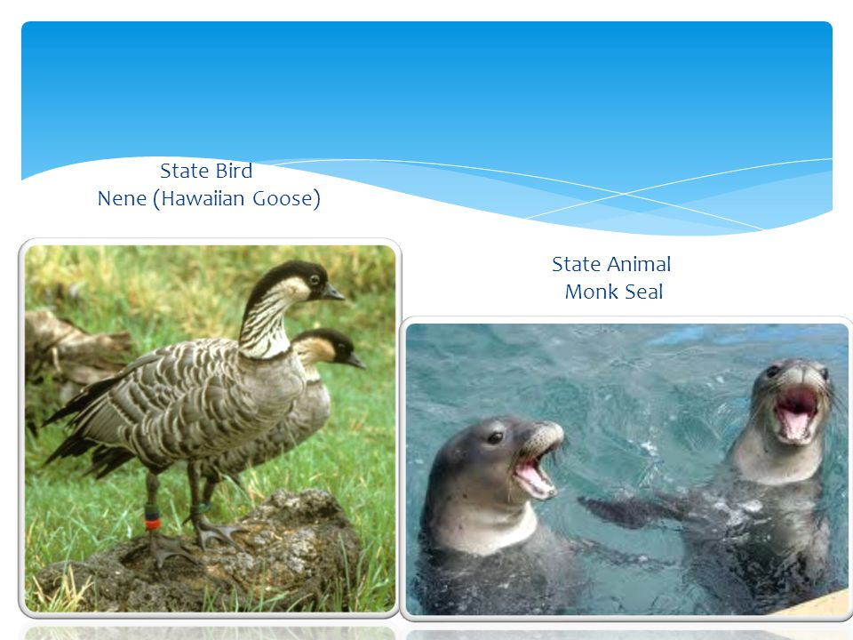 State Bird Nene (Hawaiian Goose) State Animal Monk Seal