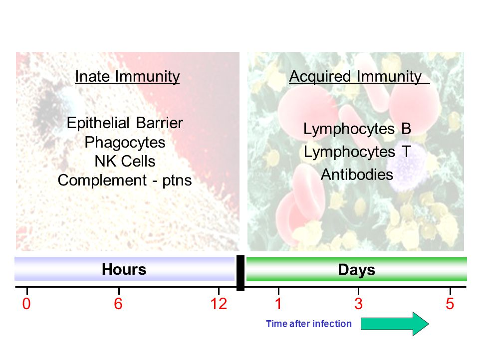 Epithelial Barrier Phagocytes NK Cells Complement - ptns Lymphocytes B Lymphocytes T Antibodies Hours Days 0612135 Inate ImmunityAcquired Immunity Tim