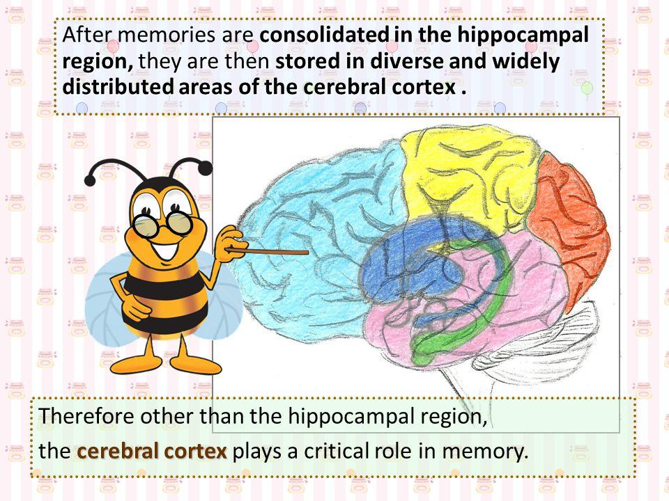 hippocampal region consolidation of memories According to contemporary view, the hippocampal region plays a key role in the consolidation of memories, i.e.
