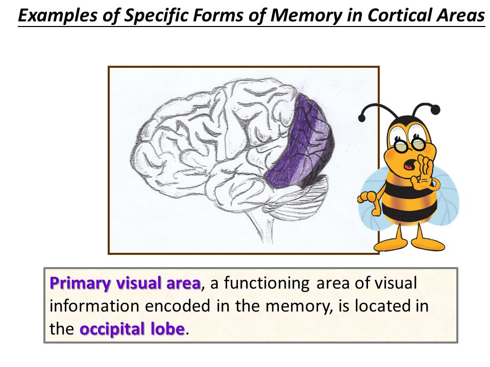 cortical areas Some theorists even suggest that the hippocampal area only functions to bind together the individual elements of a specific form of memory that are stored in diverse and widely distributed areas of the cerebral cortex (cortical areas).