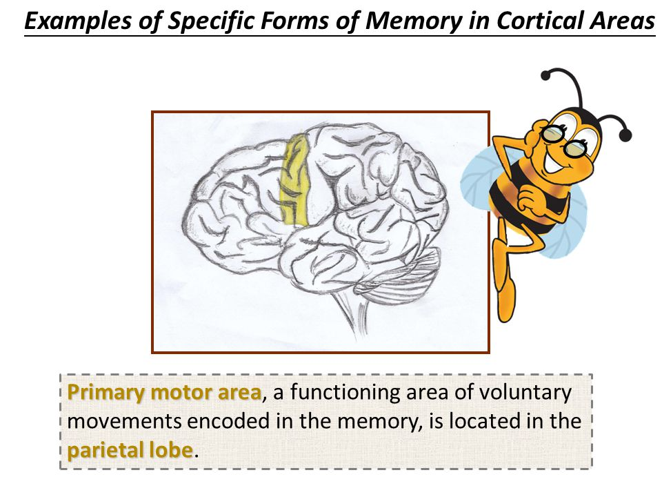 Primary somatosensory area parietal lobe Primary somatosensory area, a functioning area of senses of body movements encoded in the memory, is located in the parietal lobe.