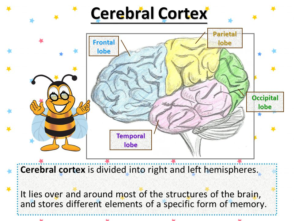 Hippocampal Region Hippocampal region organizes and converts information from short-term memory to long-term memory for permanent storage of memories.
