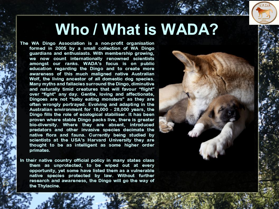 Who / What is WADA? The WA Dingo Association is a non-profit organisation formed in 2005 by a small collection of WA Dingo guardians and enthusiasts.