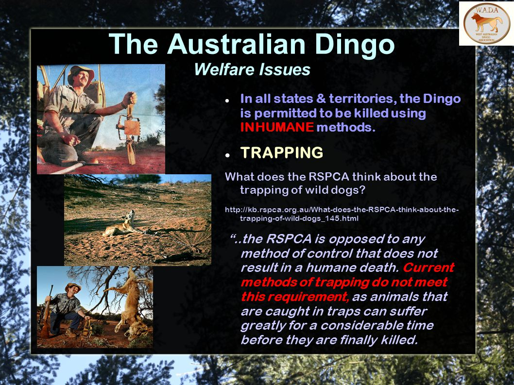 The Australian Dingo Welfare Issues In all states & territories, the Dingo is permitted to be killed using INHUMANE methods. TRAPPING What does the RS